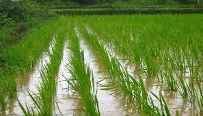 「水稻」的圖片搜尋結果