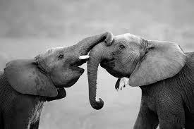 Skleněný Obraz Sloni Přátelství