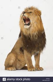 lioness roar front view. Wonderful Lioness Seated Lion Panthera Leo Roaring Front View  Stock Image Inside Lioness Roar Front View R