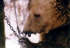 Image result for bear cub chained