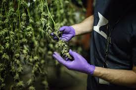 personal essay on pot tourism in colorado news share this link