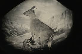 bringing them back to life picture of a bucardo or pyrenean ibex now extinct