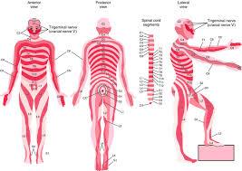 Dermatomal Distribution Definition Of Dermatomal