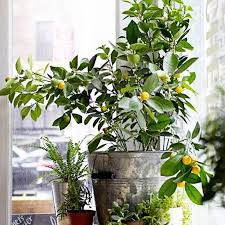 Best Grow Light For Citrus Tree 8 Types Of Indoor Fruit Trees You Can Grow In Your Living