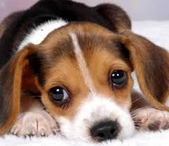 beagle puppies. Delighful Beagle And Beagle Puppies