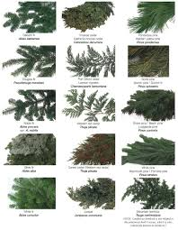 Douglas Fir Growth Chart Sequoia Pine Id Poster Chart Google Search Types Of Pine