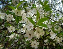 plum flowers cherry plum tree flowering tree garden spring