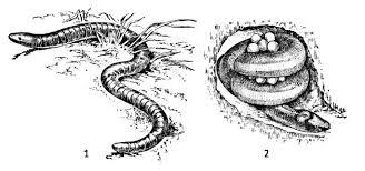 Характеристика безногих земноводных Зоология Реферат доклад  Рис 109 Червяги по Наумову 1973 1 кольчатая червяга 2 самка цейлонского рыбозмея обвившаяся вокруг комка яиц отложенных в специально вырытой