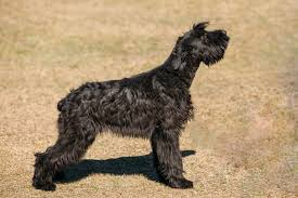 Giant Schnauzer Size Chart Giant Schnauzer Dog Breed Information Pictures