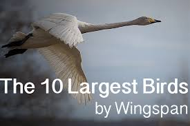 Top 10 Largest Birds On Earth Wingspans Hubpages
