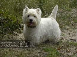 Voor Hondenliefhebbers Hondenforum West Highland White Terrier