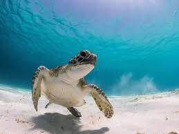 Resultado de imagen para Turtle Conservation