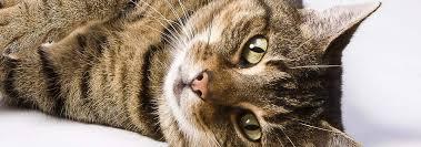 <b>European</b> Shorthair <b>Cat</b> Breed: Personality & Info | Hill's Pet