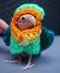 featherless parrot. Fine Featherless A Featherless Parrot Looking Cute In One Her Sweaters  To Featherless Parrot A