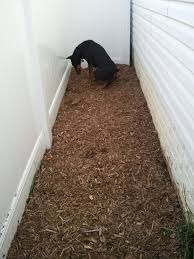 save your lawn from dog and potty area how to canine training center
