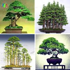 office bonsai tree. 10 Juniper Bonsai Tree Potted Flowers Office Purify The Air Absorb Harmful Gases Free Shipping