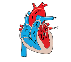 functions of the circulatory system you ve always wanted to know  functions of the circulatory system you ve always wanted to know