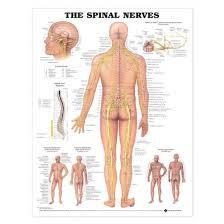 Back Nerve Chart Spinal Nerves Chart Laminated