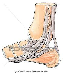 Medial Ankle B Schematic Of Tendons Passing Posterior To