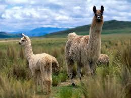 Природа растения и животные Южной Америки В пампасах этого материка встречаются олени и ламы которые живут на открытых пространствах и которые могут найти здесь травы которыми питаются