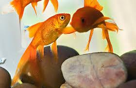 petsmart goldfish tank. Beautiful Petsmart FEATURED ARTICLE Inside Petsmart Goldfish Tank