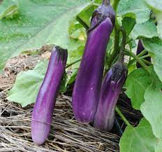 Cheap Whole Sale!fresh Eggplant / New Harvest 2019 Eggplant For Sale And  Export/ Cheap Prices - Buy Cheap Whole Sale!fresh Eggplant / New Harvest  2019 Eggplant For Sale And Export/ Cheap Prices,Cheap