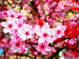 Bunga Sakura Gambar Bunga Sakura Selingkaran Flower Sakura Cherry