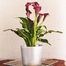 office pot plants. R229.95 View Product · Purple Zantedeschia Office Pot Plants