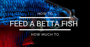 How Often To Feed A Betta Fish How Much To Feed A Betta