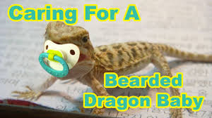 bearded dragon baby secrets caring for your baby bearded dragon you