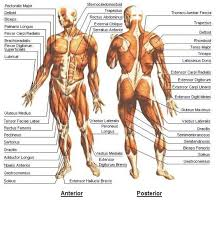 Human Body Muscle Diagram All The Muscles Of The Human