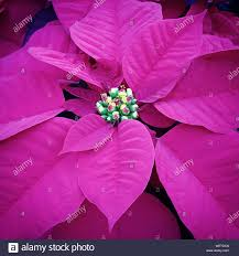 Poinsettia Pink Stockfotos Poinsettia Pink Bilder Alamy