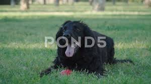 Black cocker spaniel dog laying with ...
