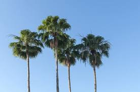 fan palm trees. fan palm trees n