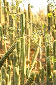 cactus field with tall green cacti large spikes sunset light plants australia 4