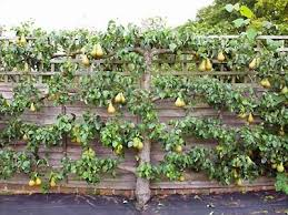 Creating Space For Fruit Trees  The Plant FarmGrowing Cordon Fruit Trees