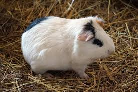 how often should you clean guinea pig