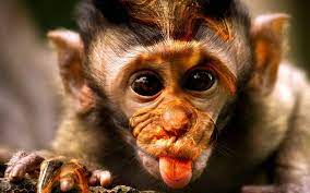 Monkey Funny Wallpapers (54+ background ...