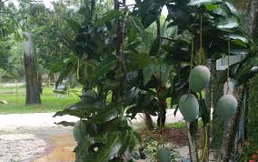 mango trees miami