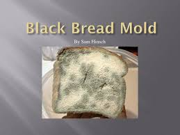 Black Bread Mold By Sam Hinsch Ppt Download