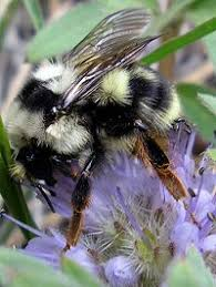 Bees go wild over <b>purple flowers</b> › News in Science (ABC Science)