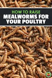 Mealworm Size Chart How To Raise Mealworms For Feed Fishing Or Fun Meal
