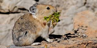 Rodents Lower Classifications American Pika National Wildlife Federation