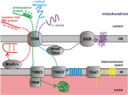 mitochondria protein diagram mitochondria database wiring mitochondria protein diagram