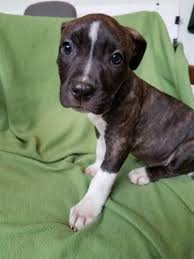 pitbull puppies. Beautiful Pitbull Flower Mcas Weblink Animal  117061 In Pitbull Puppies