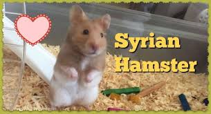 Syrian Hamster Care Facts Colors Life Span Shorthair