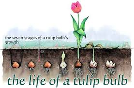 The Life of a <b>Tulip</b> Bulb