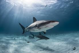 five shark powers worthy of superhero status for some solitary shark species mating opportunities are few and far between these females have evolved a special power to make the most of their chance