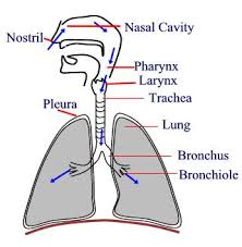 respiratory system organs   tutorvista compassage of air through the respiratory system