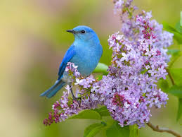 images of flowers and birds. Brilliant And Flowers Birds Lilac Bluebirds Wallpaper For Images Of Flowers And Birds D